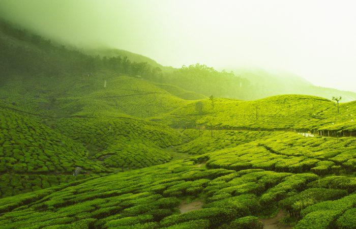 Indien Munnar individuel rejser til Indien